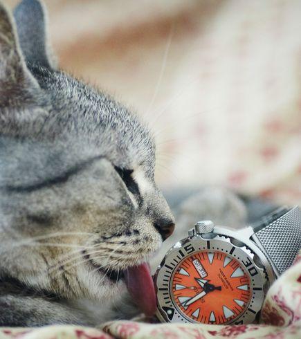 Kot z zegarkiem marki Seiko